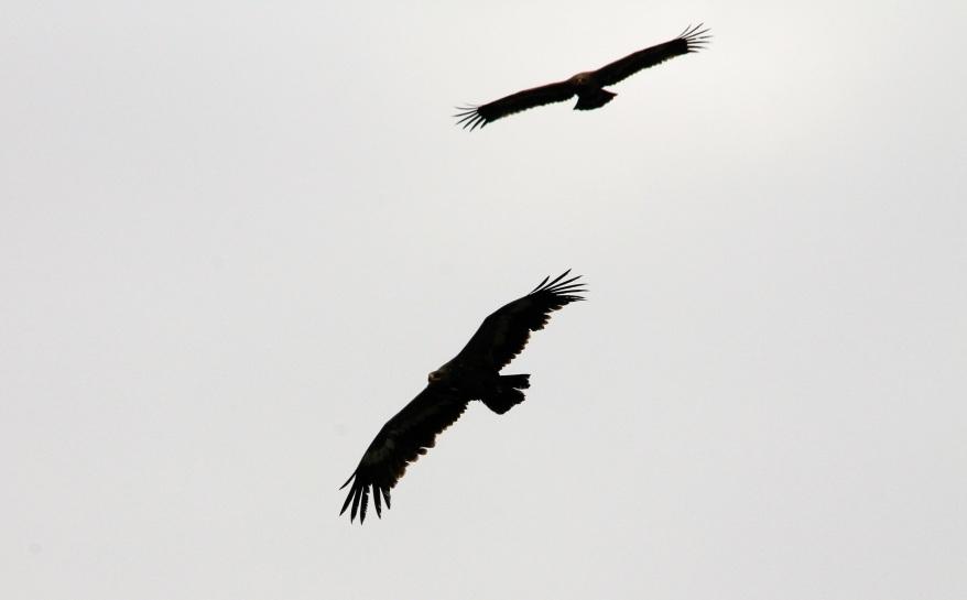 Aquila_nipalensis_®Sánchez_2011